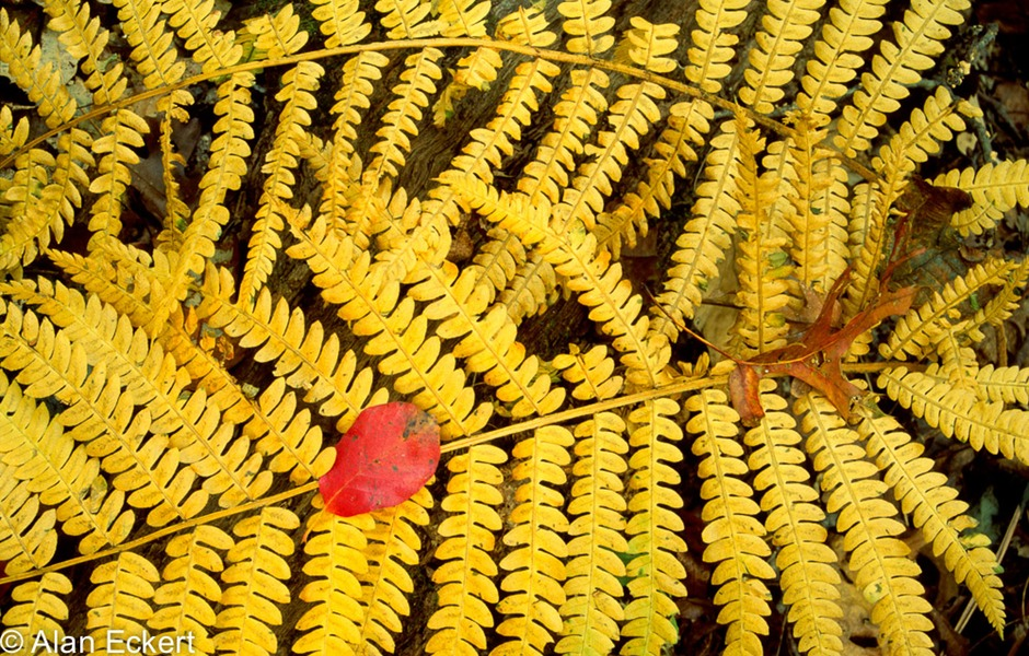 Fern and Leaves, Vienna, Virginia