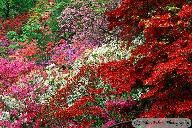 Pc wallpapers that are beautiful awesome on pinterest christmas wallpaper desktop - Care azaleas keep years ...